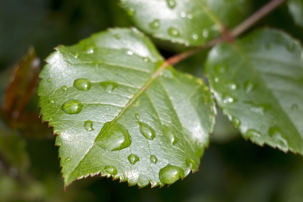 Raindrops on fresh leaves