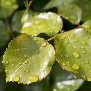 Raindrops on fresh leaves: Raindrops on fresh green leaves in a garden in England in early summer.