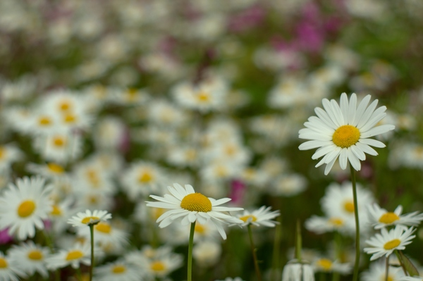 Daisies: White Daisies in blossom, using large aperture providing narrow depth of field.