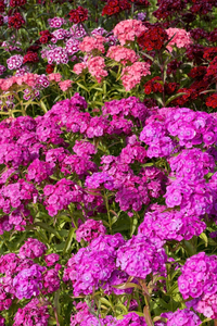 Dianthus flowers: Sweet William (Dianthus barbatus) flowers in a garden in England.