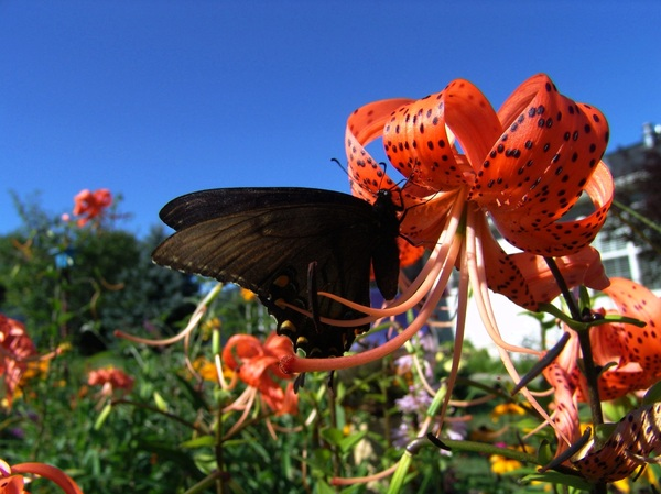 Butterfly enjoying a TigerLily