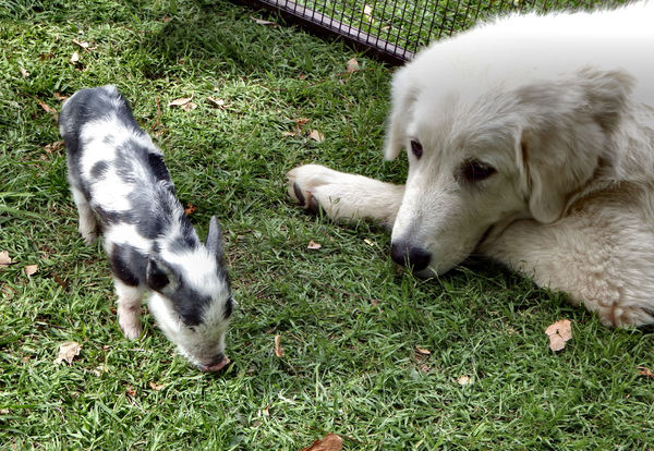 keeping a watchful eye1: quiet large dog keeping an eye on young piglet