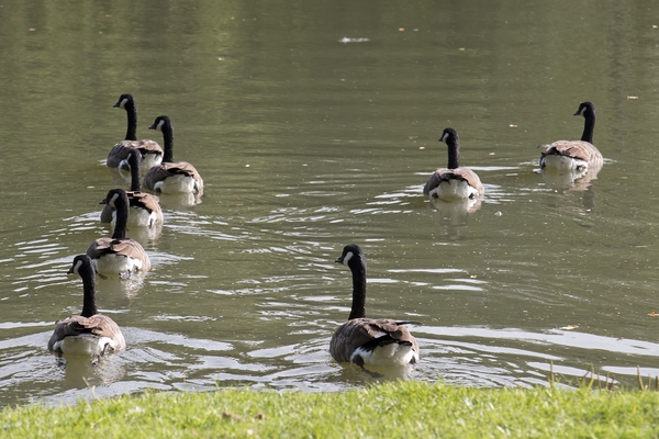 Swimming away: Canada geese (Branta canadensis) swimming on a village pond in Surrey, England.
