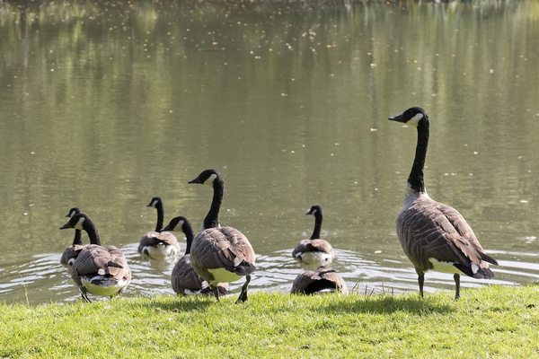 Safety alert: Canada geese (Branta canadensis) retreating onto a village pond in Surrey, England.