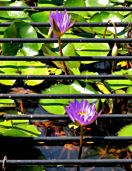 beauty breaking through1: water lilies growing through grille protected pond