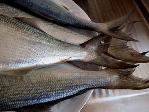 bringing home the catch3: a catch of tailor cleaned and readied for cooking