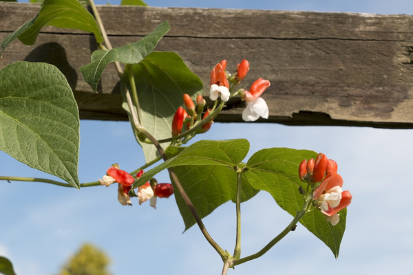 Runner bean flowers