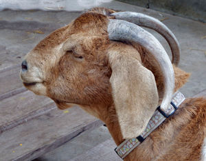 collared goat1: farm goat with own collar