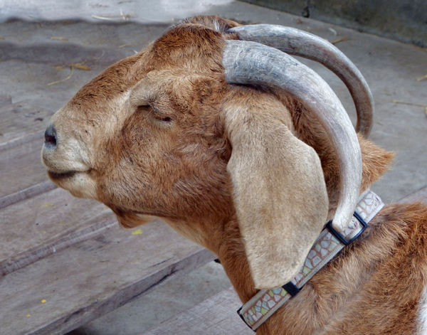collared goat1