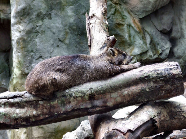 relaxed hyrax2: herbivorous hyrax soaking-up-the-sun