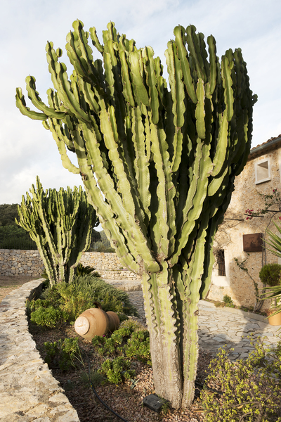 Garden cactus: Large cacti in a farmhouse garden in Majorca, Balearic Islands, Spain.