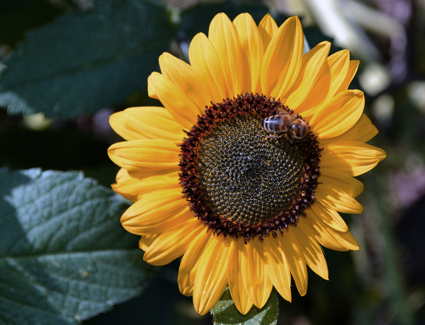 Summer bee: Shaggy old bee on sunflower