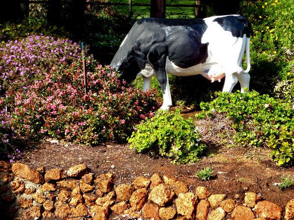 cows in the garden2