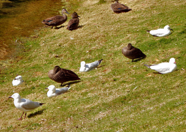mixed company: ducks & seagulls relaxing together in harmony