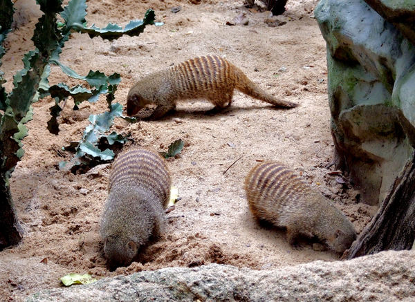 banded mongoose colony3