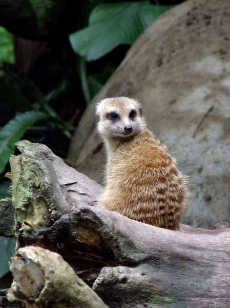 ever vigilant2: aware meerkat on the  lookout