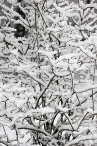 snowy_branches_02
