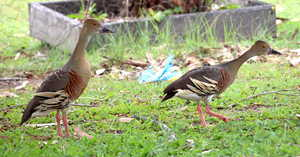 Plumed Whistling Ducks 2