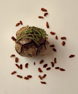 cypress cone & seeds1