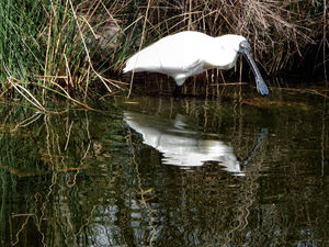 spoonbills2: reflections of plastic-like black bill/beak of the Royal Spoonbill