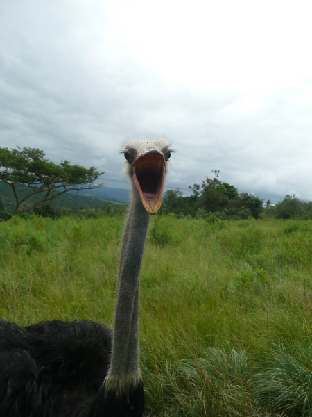 Wide mouthed Ostrich: Ostrich in a zoo in Kwazulu Natal, South Africa come to say hello.