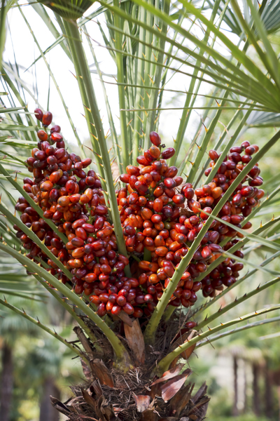 Palm fruits: A fruiting palm tree in a garden in Majorca, Balearic Islands, Spain.