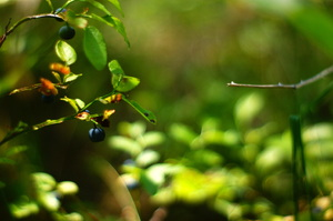 forest: A blueberry bush in a forest.