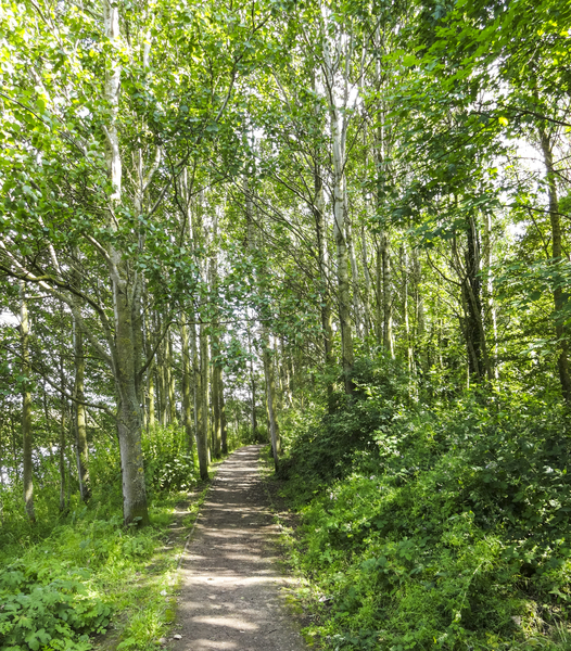 Birch Forest Path 2