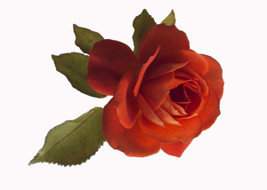 Scarlet Red Rose: a delightful small rose with pale green leaves