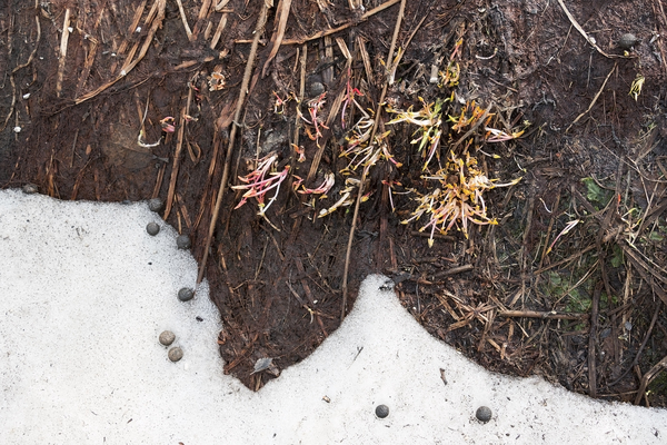 Snow melt plants: Montane plants beginning to grow immediately after snow melt in July in Norway.