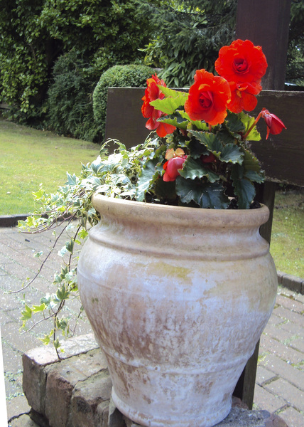 Red Begonias: Red begonias in pot