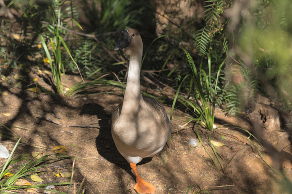 bird: a chinese goose standing on one leg