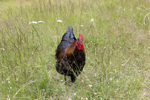 Cock: A cock foraging in a field in Norway.