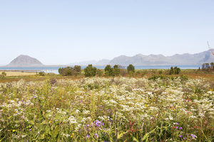 Wild flowers: Wild flowers in the Lofoten Islands, Norway.
