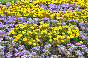Flowerbed: Colourful flowerbed from public park