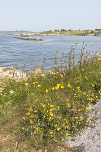 Wild flowers coastline: Coastal wild flowers on the Lofoten Islands, Norway.