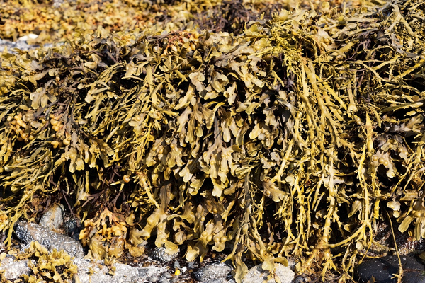 Seaweed: Seaweed exposed at low tide in the Lofoten Islands, Norway.