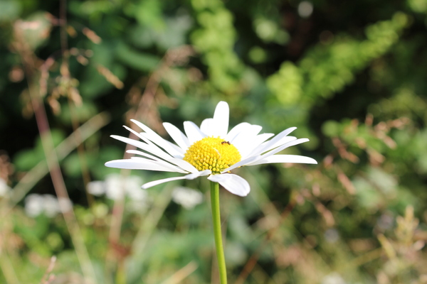 Marguerite and an ant