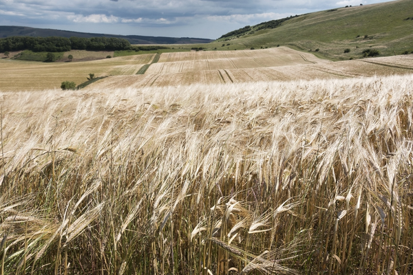 Barley crop: A ripe crop of barley (Hordeum vulgare) in Sussex, England.