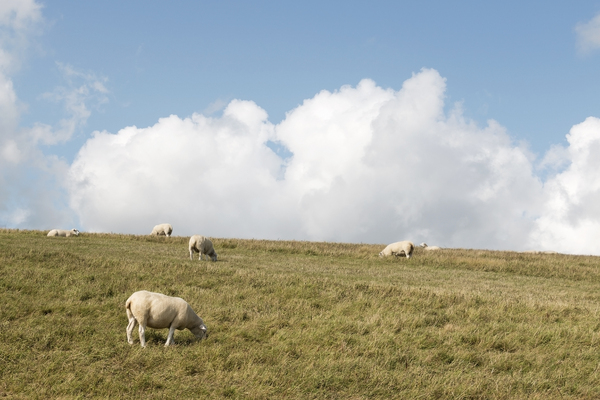 Sheep and clouds: Sheep grazing in a meadow in East Sussex, England, on a fine summer day.