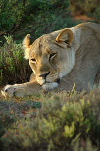 Lioness 2: Tawny lioness at rest in the Karoo, South Africa.NB: Credit to read