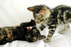 Playful Kittens 2: Kittens we rescued from a location (or slum) that we homed. NB: Credit to read