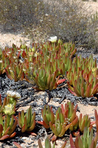 Karoo succulents 5: Study of Karoo succulents, some of which are endemic to South Africa, and a few of which are endemic to the Warmwaterberg mountain range only! All beautiful...Credit to read