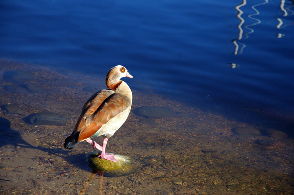 Egyptian Goose II: At least I think it's an Egyptian Goose. Nah. Pretty sure it is.NB: Credit to read