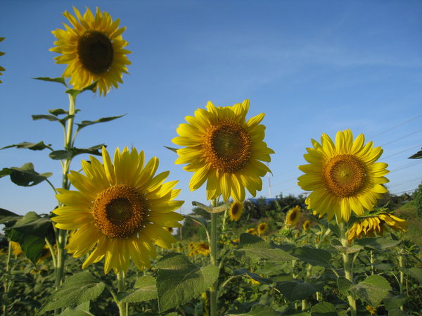 Sunflowers in Thailand 4: Sunflowers taken in Saraburi (Thailand)
