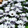 white flower carpet: Osteospermum plants