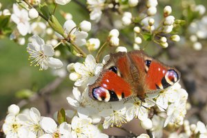 butterfly: sitting butterfly on plum tree flowers