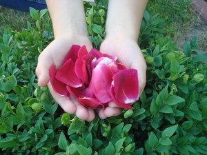 Rose petals  2: Red rose petals in child's hands