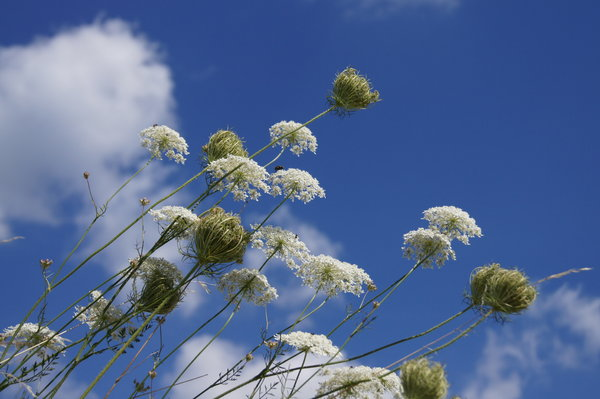 umbellifer flowers: White flowerheads from umbellifer family