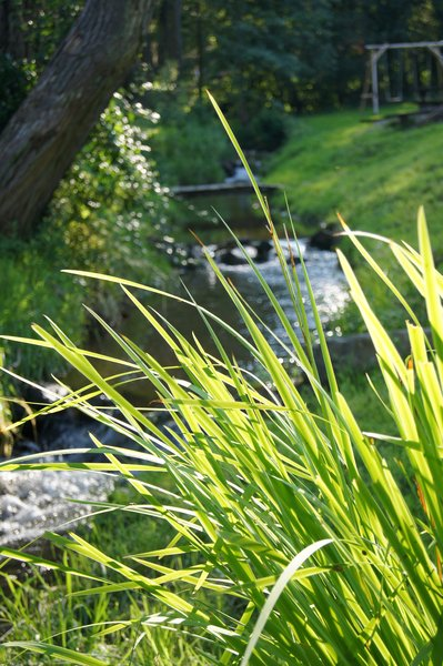 grass: Tuft of grass close to stream